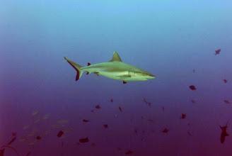 Photo: #012-Requin gris à Shaab Rumi