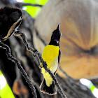 Purple-rumped sunbird-Male