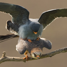 Red-footed falcons mating by Trond Braadland - Animals Birds ( falco vespertinus, red-footed falcon, mating )