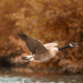 Canada goose by Peter Kostov - Animals Birds ( nature, fauna, goose, bird, canadagoose, animal, wildlife )