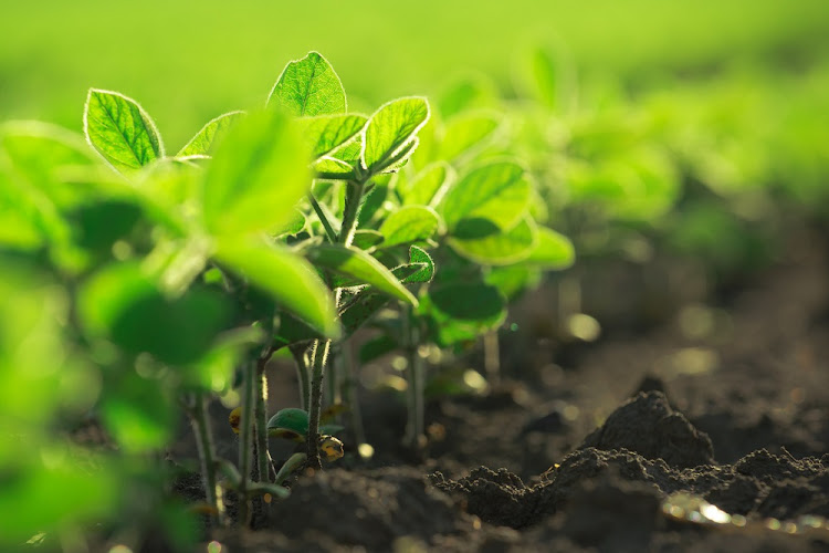 Young soybean plants growing in a cultivated field. Picture: ISTOCK