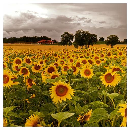 生活App|太陽の花のライブ壁紙 LOGO-3C達人阿輝的APP