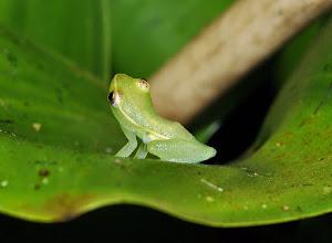 Photo: Hyperolius adspersus