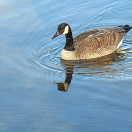 Goose by Jaliya Rasaputra - Animals Birds