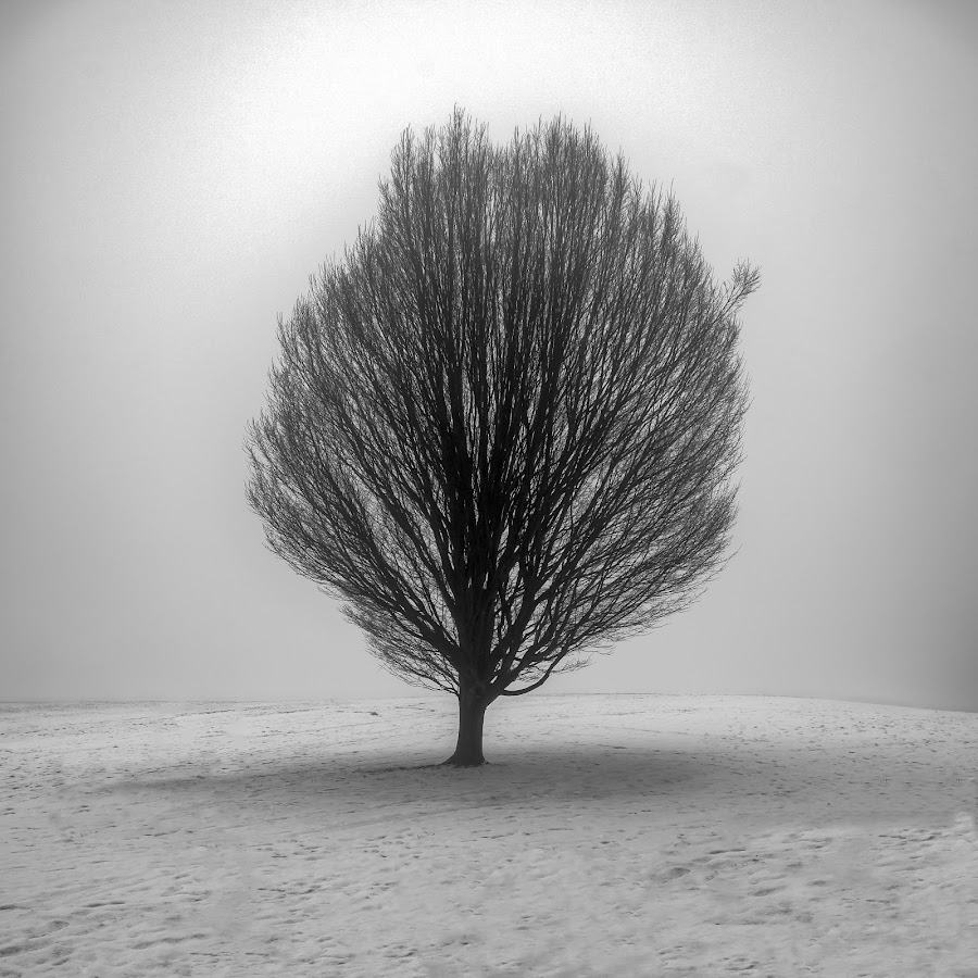 Winter by Darrell Evans - Nature Up Close Trees & Bushes ( plant, winter, tree, fog, flora, silhouette, outdoor, snow, landscape )