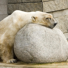 Stoned by Dietmar Pohlmann - Animals Other Mammals ( bear, relax, stoned )