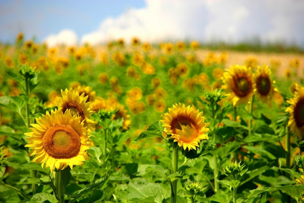 Sunflower on the hill di franbn