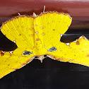 Yellow Green Broken-Leaf Moth Male