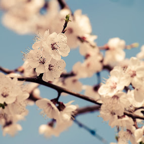 Cherry Blossom by Florin Gorgan - Nature Up Close Flowers - 2011-2013 ( cherry, nature, colorful, vintage, colors, flowers, spring, flower, blossom )