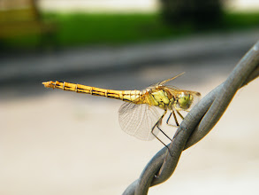 Photo: a dragonfly in QRRS Dorms garden where benzrad 朱子卓 lingering for his new family. the summer 2012 in its highest heat.
