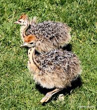 Photo: (Year 3) Day 23 - Baby Ostrich