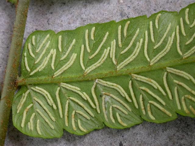 雙蓋蕨孢子囊群-廣雙坪林