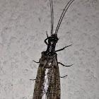 Spring Fishfly female