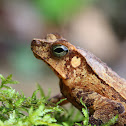Guiana Sheild Leaf Frog
