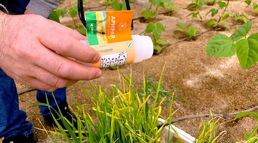 Parasitoides y plantas refugio, clave del éxito en control biológico de pulgón