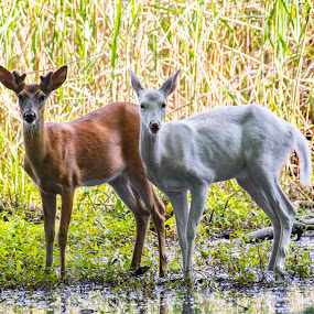 Brother and sister by Paul Drajem - Animals Other Mammals ( deer, mammals, albino, nature, outside, animals, wildlife,  )