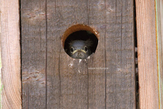 Photo: Western Bluebird - Fledgling