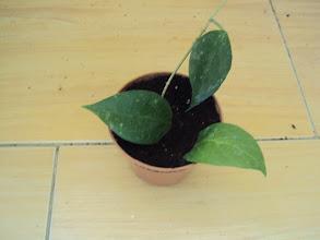 Photo: Hoya limoniaca
