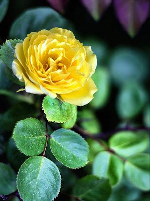 rosa di nadia-ciube-borghi