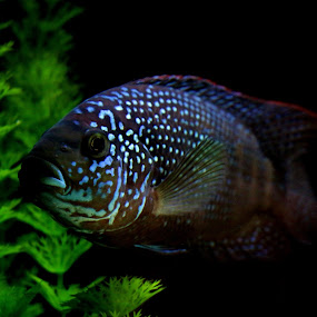 Jack Dempsey by Brent Monique Makenzie Moran - Animals Fish ( water, spots, spotted, cichlid, underwater, green, fish, south american cichlid, tropical fish, fins, fresh water fish, fin, spot, jack dempsey, red, aquatic, nature, blue, pet, aquarium, black, animal,  )