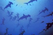 Photo: Requins Marteaux à Shaab Rumi au Soudan