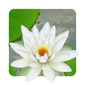 3D Lotus Live Wallpaper icon