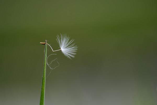 Dandelion di thomas_gutschi