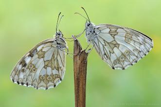 Photo: Demi-Deuil, Melanargia Galathea, Marbled White http://lepidoptera-butterflies.blogspot.com/ https://www.facebook.com/pages/Macro-Photography-Do-Dema/540798875993427