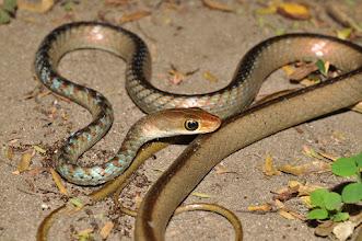 Photo: Philothamnus dorsalis