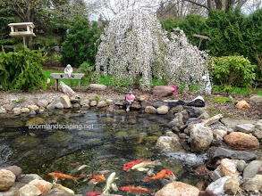 Photo: #KoiPondMaintenance Rochester NY, by Acorn Ponds & Waterfalls, to keep your #Pond looking great throughout the year, be sure to get on our spring pond clean out schedule.  Call us now at 585.442.6373 or fill out this contact form and someone will get back to you soon: www.acornponds.com/spring-maintenance.html  Click here to learn more about Pond Maintenance Services: www.acornponds.com/pond-maintenance.html  To learn more about garden pond or fish pond spring maintenance, click here: www.facebook.com/notes/acorn-landscaping-landscape-designlightingbackyard-water-gardens/pond-maintenance-rochester-nyfish-pond-cleaning-pittsford-fairport-penfield-ny-b/244212912282505  Click here for a free Magazine all about Ponds and Water Features: http://flip.it/gsrNN  To see more of our #pondinstallations on Facebook click here: www.facebook.com/media/set/?set=a.464911070212687.94604.103109283059536&type=3  Find us on Houzz here: www.houzz.com/pro/acornlandscapedesign/acorn-landscaping-and-ponds-llc  Acorn Ponds & Waterfalls  585.442.6373 www.acornponds.com