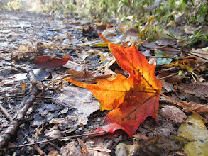 Photo: Fiery red and orange leaf on the forest floor at Hills and Dales Metropark in Dayton, Ohio.