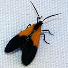 Black-and-Yellow Lichen Moth