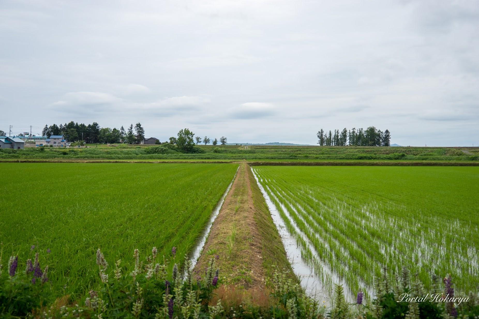 稲の背比べ