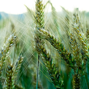 Wheat by Iztok Urh - Nature Up Close Other Natural Objects