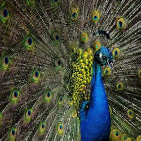 peacock by Steve Isp - Animals Birds
