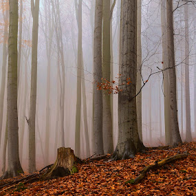 The rulers of silence by Martin Namesny - Nature Up Close Trees & Bushes ( beeches, silent, forests, foggy, fog, magical, mysterious, trees, forest, leaves )