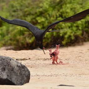 Snatch by David Cozens - Animals Birds ( magnificent frigate, bird.frigate, sea-lion, placenta, beach, galapagos,  )