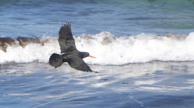 Photo: Sooty Oystercatcher