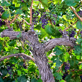 Raisens or Wine by  J B  - Food & Drink Ingredients ( wine, raisens, grapes, vines, vinyard )