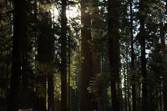 Photo: Sequioas, and a few merely large trees