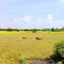 Photo: 3rd class train from Bangkok to Aranyaprathet.  Water buffaloes.