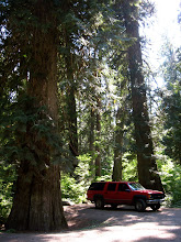 Photo: Sumallo Grove off of the Hope Princeton Hwy (Hwy 3) in BC. Where trees grow so big they make my buddy's suburaban  look rather small :) :)