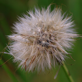Letting Go by Chrissie Barrow - Nature Up Close Other Natural Objects ( nature, green, hawkbit, seeds, bokeh, cream, closeup, seedhead )