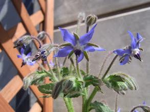 Photo: 「ボリジ」のお花