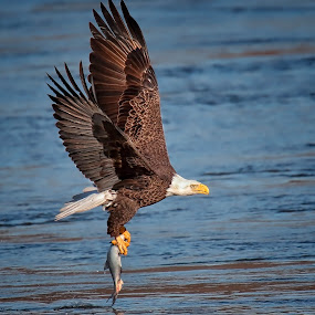 Bald Eagle with catch by Rich Reynolds - Animals Birds ( bird, bird of prey, eagle, fish, bald eagle, raptor )