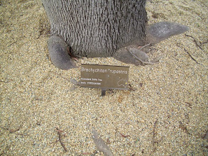 Photo: Queensland Bottle Tree plaque, at the entrance to the area of Barry's Bench