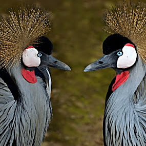 Grey Crowned Cranes by Helen Nickisson - Animals Birds ( waders, south africa, blue eyes, national bird, crane, birds, crested, crowned crane )