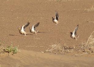 Photo: Grandule coronata - Pterocles coronatus - Crowned Sandgrouse