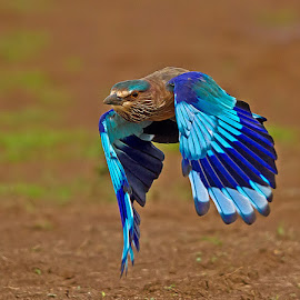 Roller by Jineesh Mallishery - Animals Birds ( bird, jineesh wildlife photography, indian roller )