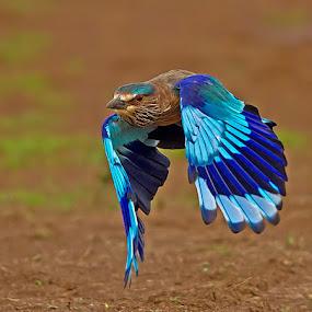 Roller by Jineesh Mallishery - Animals Birds ( bird, jineesh wildlife photography, indian roller )